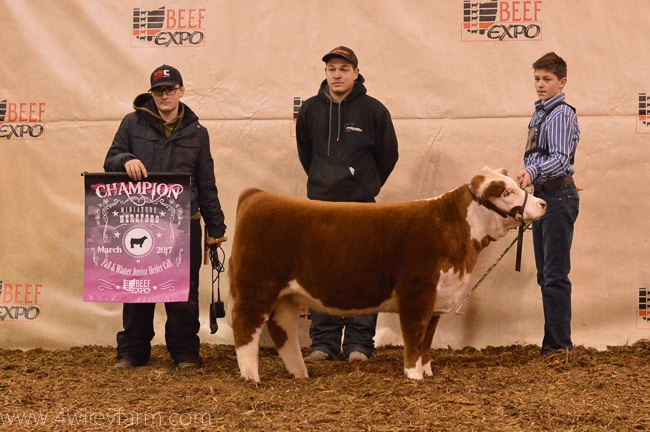 Miniature Hereford Grand Champion Female 4 Wiley Bunny Bee