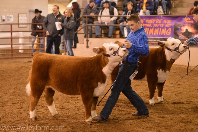 4 Wiley Amber Mountain Miniature Hereford