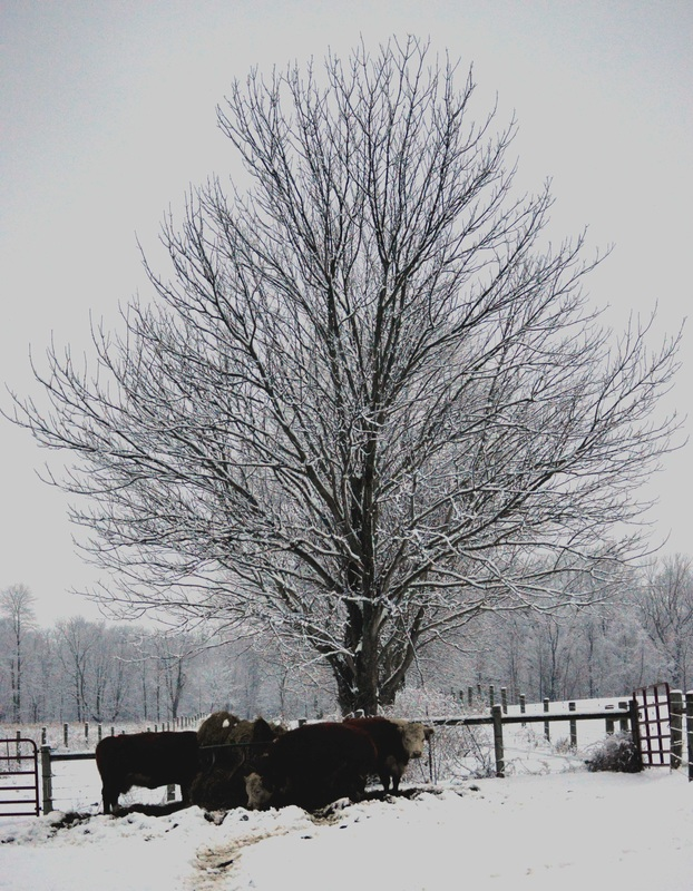cattle snow scenes