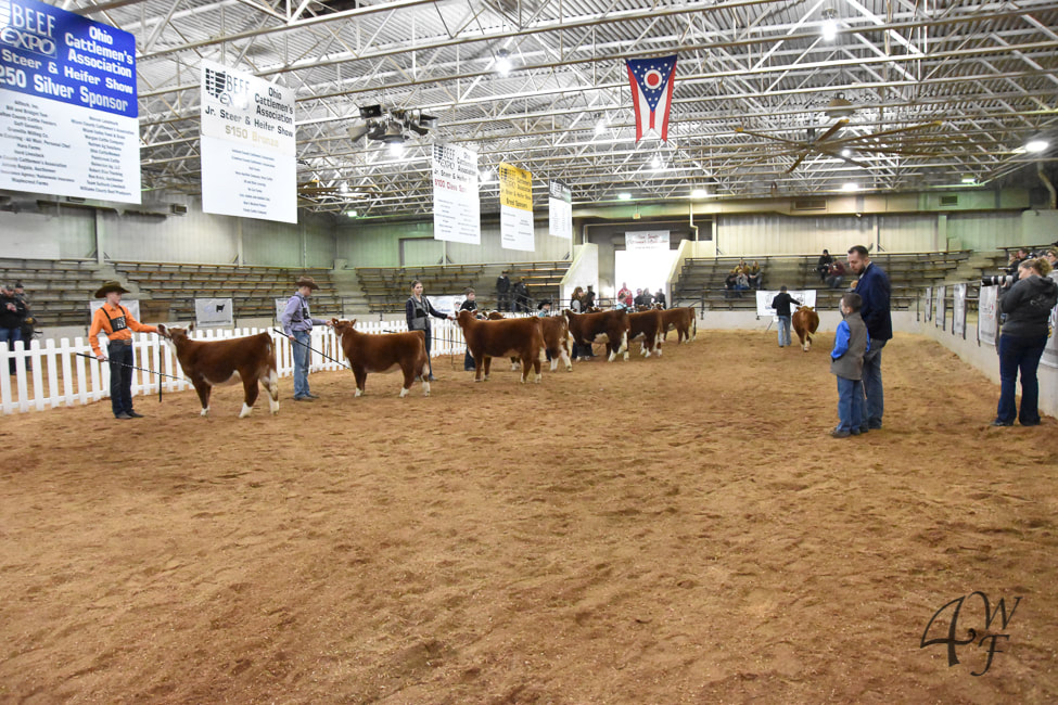 Miniature Herefords at the Ohio Beef Expo