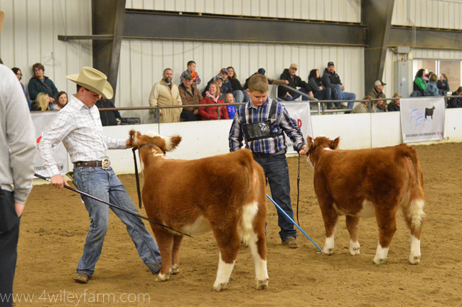 Ohio Cattlemen's Association B.E.S.T. program miniature heifer class