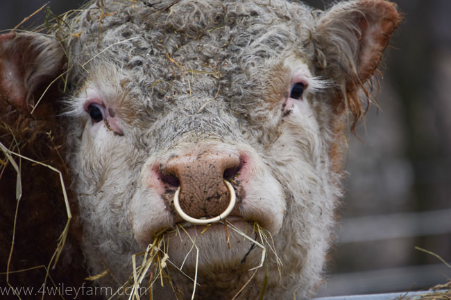 Bull Bling - Why We Put Nose Rings in Our Bulls - 4 Wiley Farm