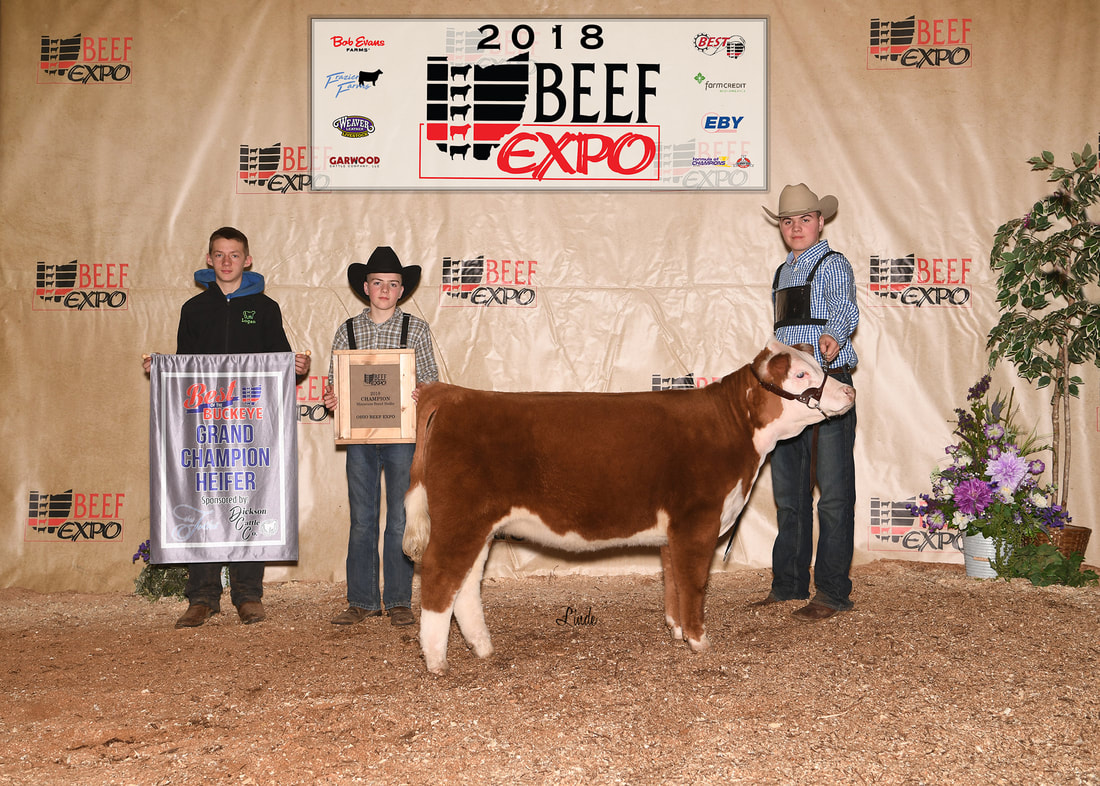 2018 Best of the Buckeye Miniature Hereford Heifer - 4 Wiley Ribbon of Rose