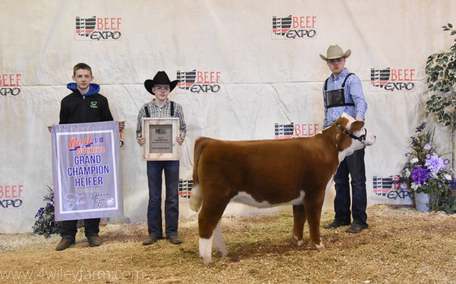 2018 Champion Best of the Buckeye Miniature Hereford owned by Isaac Wiley and bred by 4 Wiley Farm